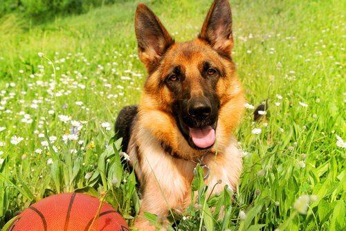 un pastore tedesco in un prato con una palla da basket