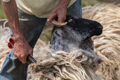 un pastore tosa una pecora