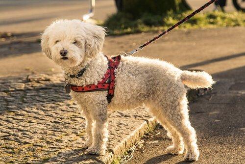 un piccolo barboncino con imbracatura per cani