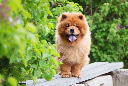 Razze di cani con la lingua blu