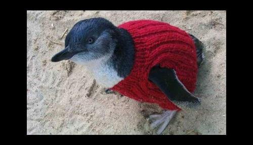 pinguino che indossa un golf rossa