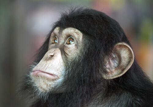 un piccolo di scimpanzè con lo sguardo quasi umano