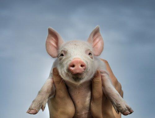 un piccolo maiale tenuto in braccio