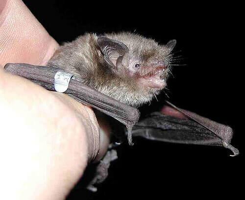 un piccolo pipistrello tenuto in mano da un uomo