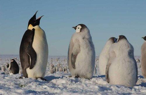 un pinguino adulto circondato da alcuni pinguini giovani