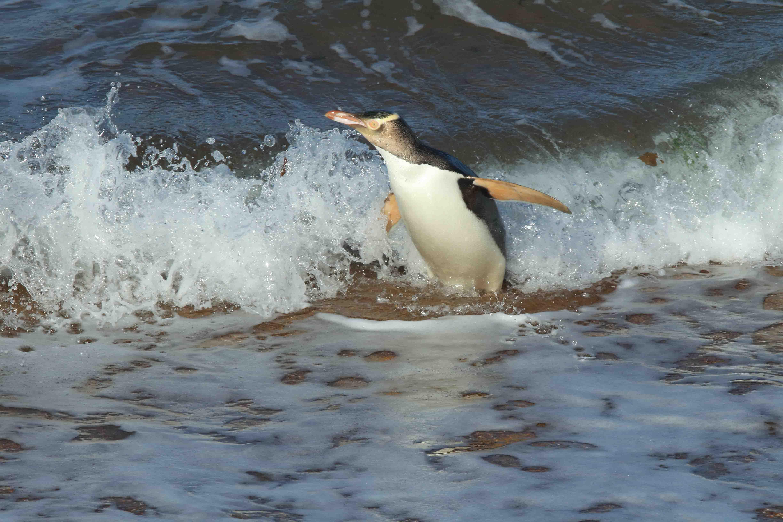 un pinguino dagli occhi gialli sul bagnasciuga