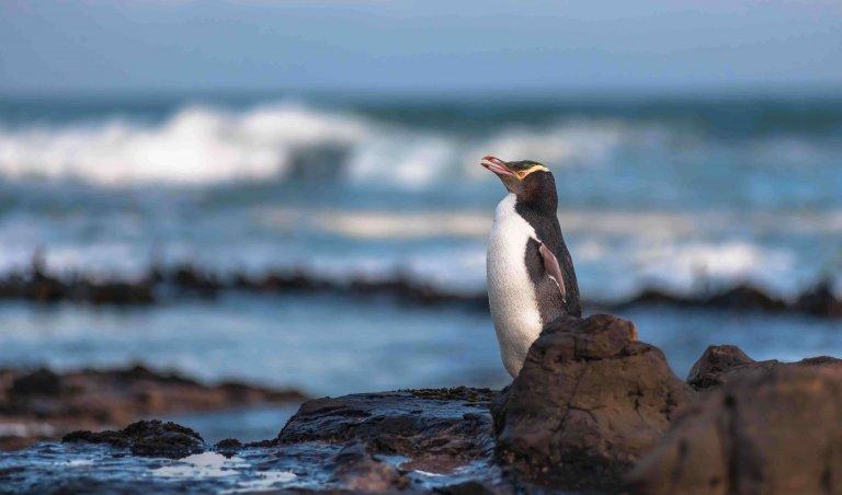 La pesca minaccia il pinguino dagli occhi gialli