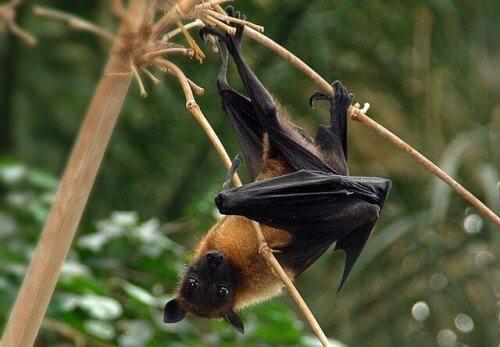 I pipistrelli sono pericolosi per le persone?