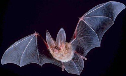 un pipistrello vola di notte con le ali aperte