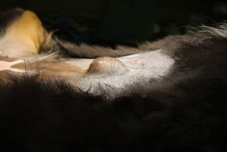 un rigonfiamento tipico di una ernia canina