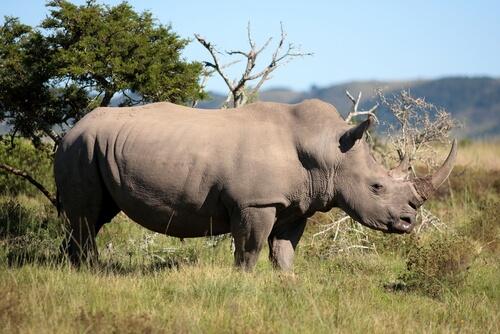 un rinosceronte maschio controlla il suo territorio in Africa