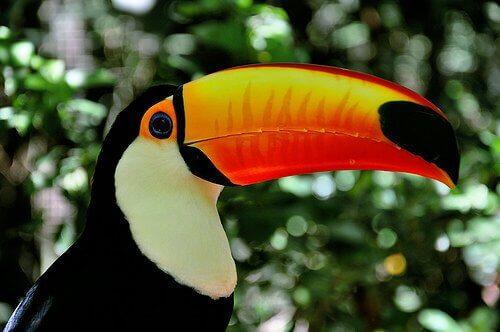 un tucano di profilo nella foresta amazzonica