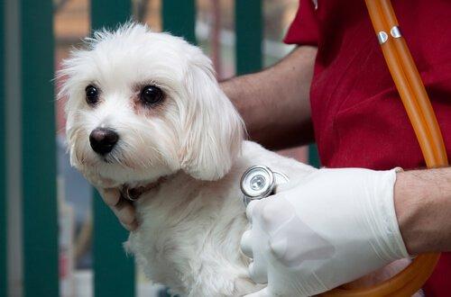 un veterinario ausculta il cuore di un cane maltese