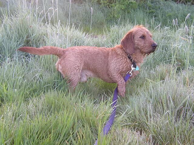 una Basset fauve de Bretagne nell'erba alta di un parco
