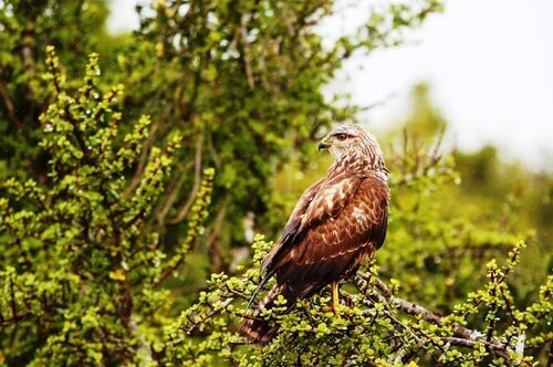 Poiana comune: caratteristiche, comportamento e habitat