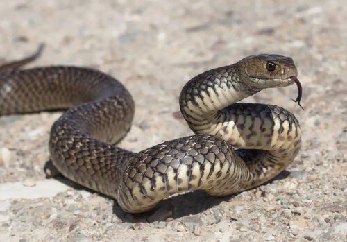 Serpente grigio striscia sul terreno