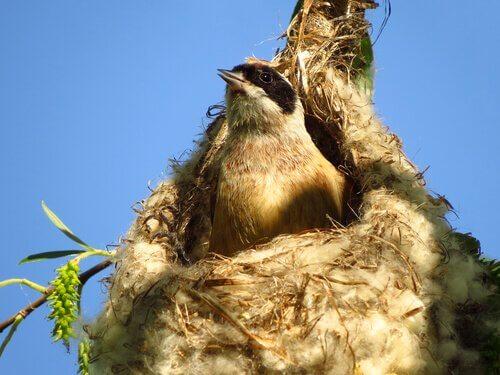 Come fanno gli uccelli a costruire un nido?