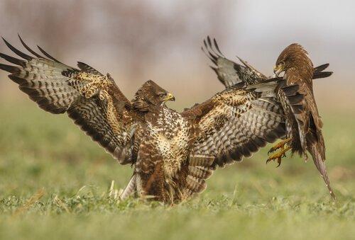 combattimento tra poiane