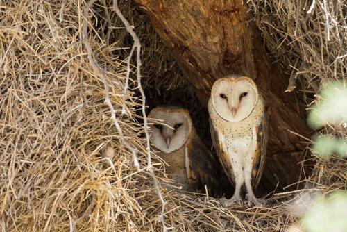 una coppia di barbagianni nel loro nido