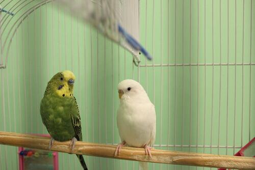 Coppia di pappagalli nella gabbia