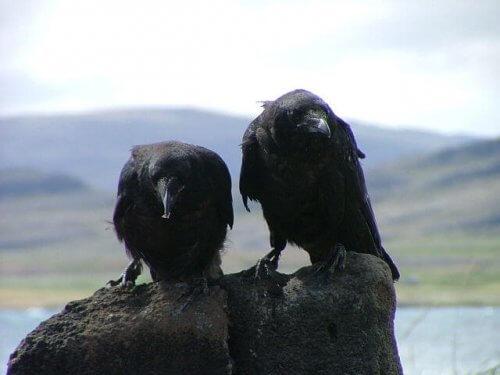 una coppia di corvi scruta l'orizzonte dall'alto