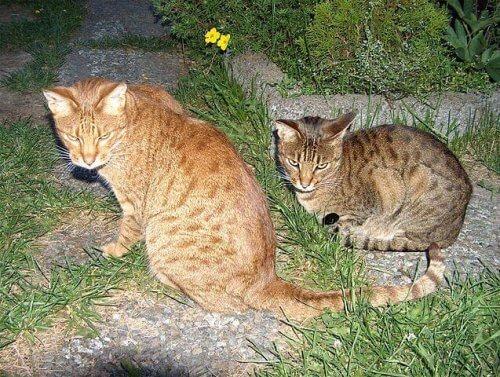 una coppia di gatti ocicat riposano sull'erba