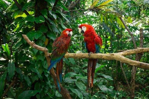 una coppia di pappagalli ara nella giungla