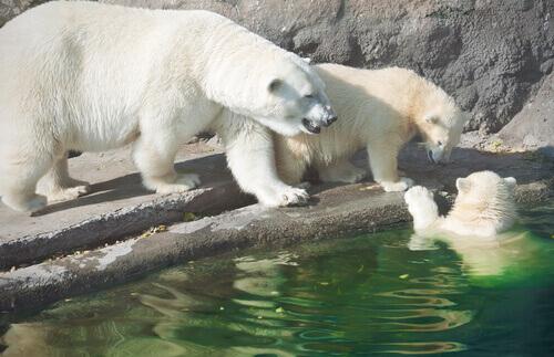 Famiglia di orsi polari gioca nell'acqua