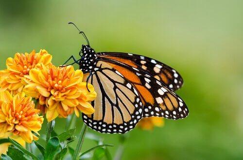 una farfalla gialla di profilo su un fiore