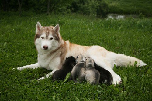 una femmina di husky allatta i suoi piccoli