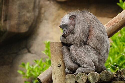 scimpanzé anziano dorme su tronchi