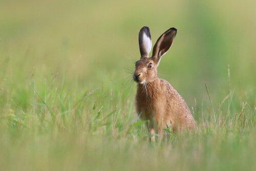 una lepre guardinga in un prato con erba alta