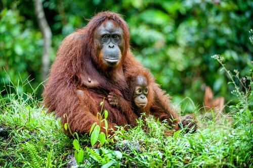 una madre con un cucciolo di Orango nella foresta