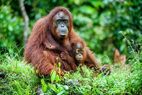 Madre di Orango abbraccia cucciolo nella giungla