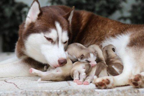 una madre husky si prende cura dei suoi cucciolo