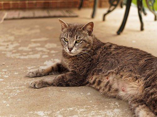 Cosa bisogna sapere sulla gravidanza delle gatte?