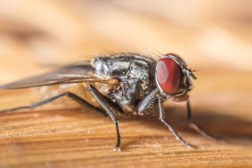 una mosca vista con ingrandimento su un tavolo