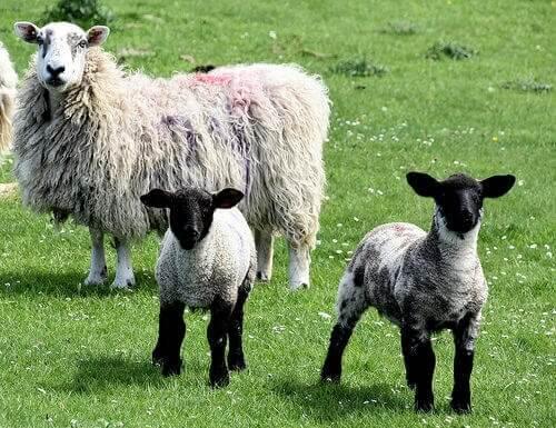 una pecora adulta con due agnellini bianchi e neri