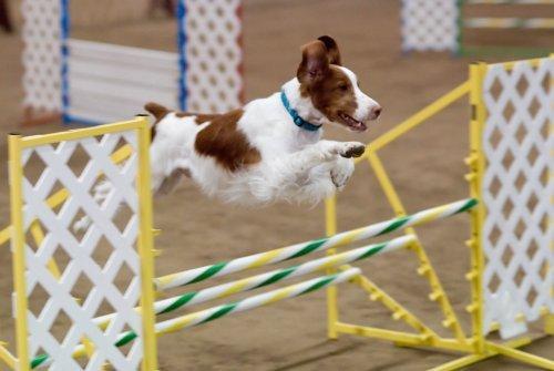 una prova di agility dog realizzata da un Epagneul Breton