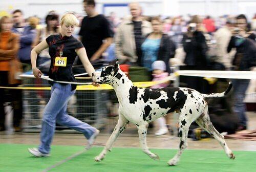 una ragazza corre con un alano in una competizione canina