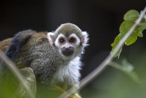 una scimmia con gli occhiali tra le fronde di un albero