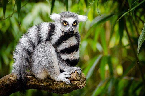 una scimmia striata bianco e nera su un ramo