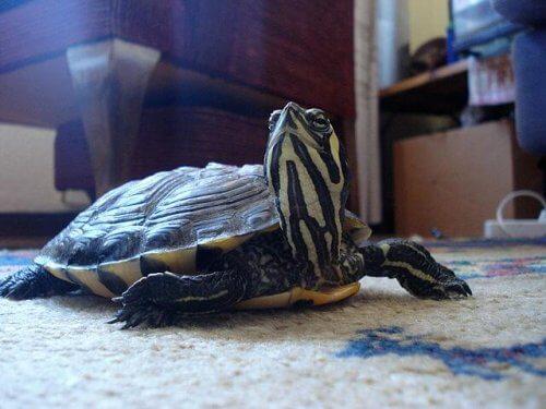 Tartaruga di terra passeggia su un tappeto