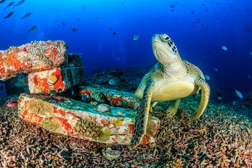 Tartaruga marina nuota tra i coralli