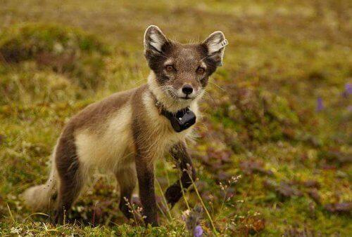 una volpe della tundra vista da vicino