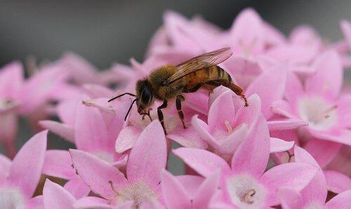 ape su dei petali di fiori