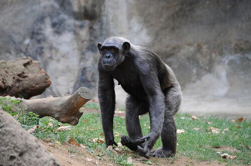 Lo scimpanzé: caratteristiche, comportamento e habitat