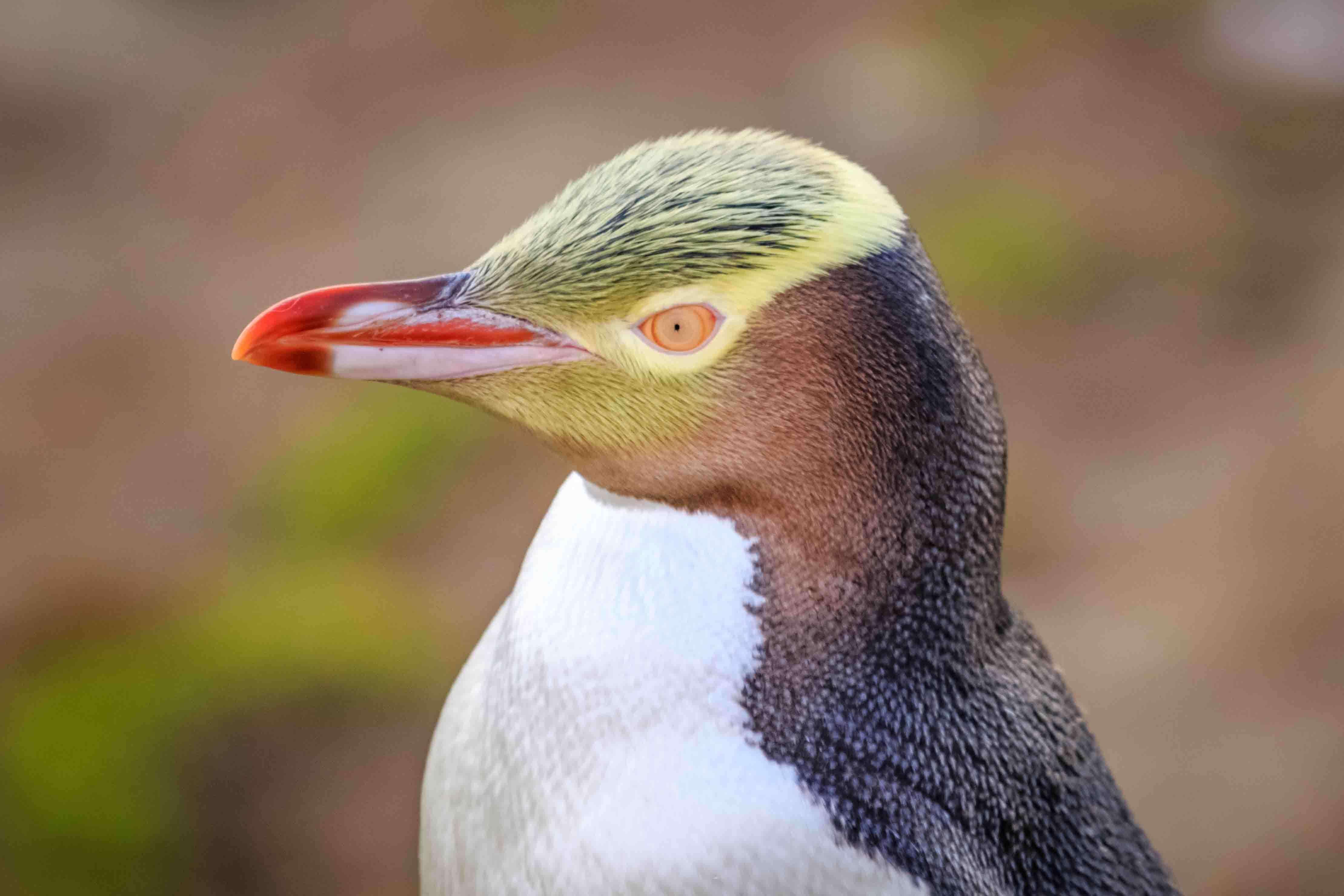 volto e becco del pinguino dagli occhi gialli