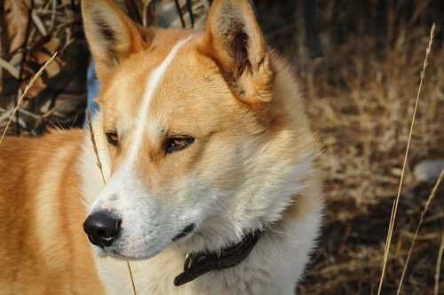 Laika della Siberia Orientale: caratteristiche