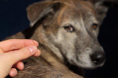 Agopuntura veterinaria sul dorso di un cane